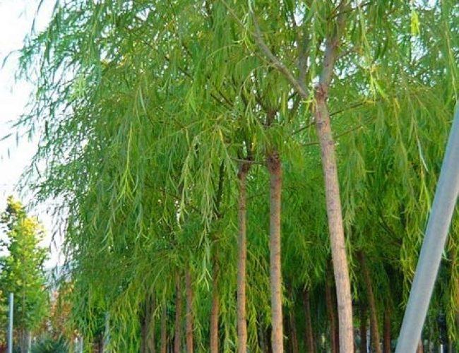 Salix_alba_babylonica-Salkim_sogut_sakarya_botanik_(2)