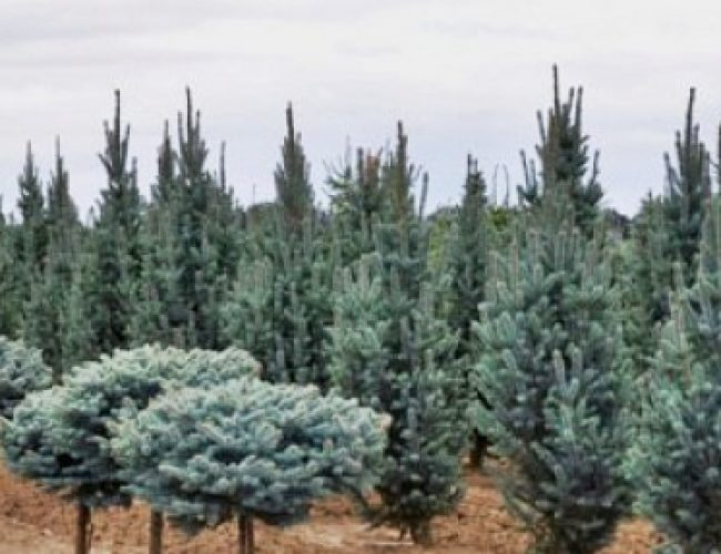 cropped-Picea-pungens-Glauca-Globosa
